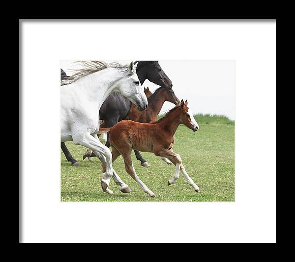 Horse Framed Print featuring the photograph A Group Of Galloping Horses In An Open by Somogyvari