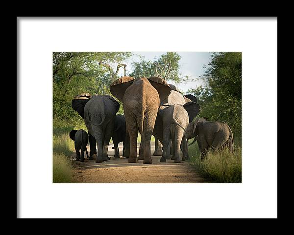 Cow Framed Print featuring the photograph A Herd Of Elephants Heading Away From Us by Jono0001