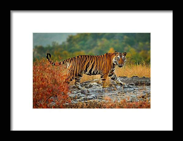 Vertebrate Framed Print featuring the photograph A Large Tiger In Bandhavgarh National by Mint Images - Art Wolfe