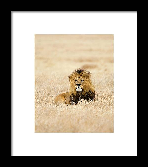 Grass Framed Print featuring the photograph A Lion by Sean Russell