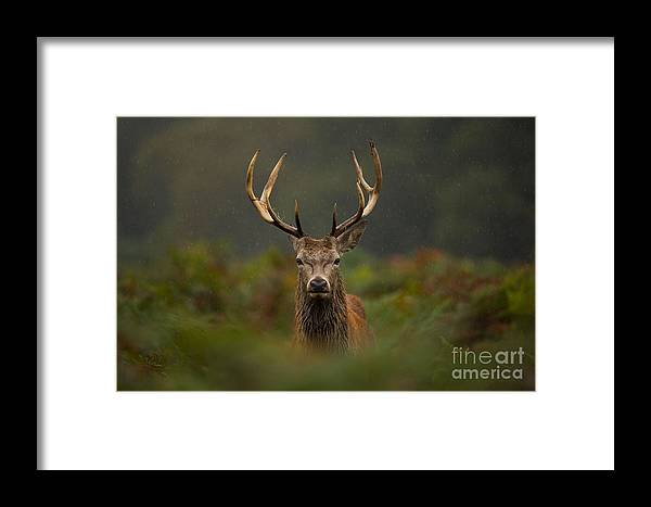 Deer Framed Print featuring the photograph A Young Red Deer Stag by Andrew Swinbank