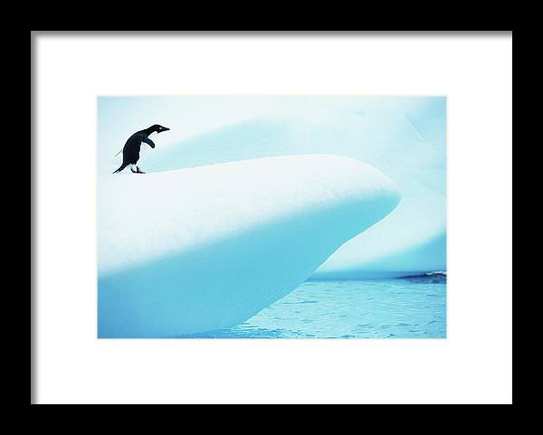The End Framed Print featuring the photograph Adelie Penguin Pygoscelis Adeliae by Paul Souders