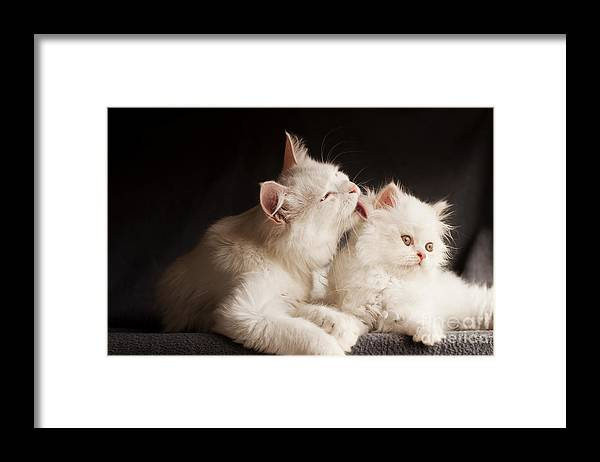 Cleaning Framed Print featuring the photograph Adorable White Persian Cats Mother by Dreambig