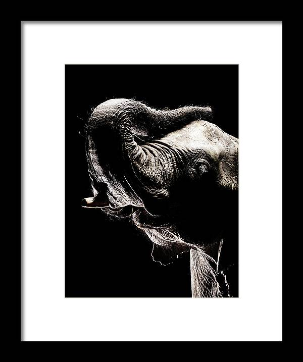 Animal Trunk Framed Print featuring the photograph African Elephant With The Trunk Raised by Henrik Sorensen