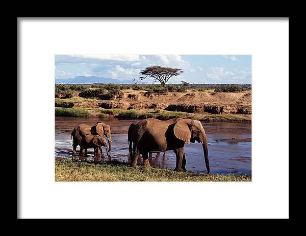 Kenya Framed Print featuring the photograph African Elephants Loxodonta Africana by John Giustina