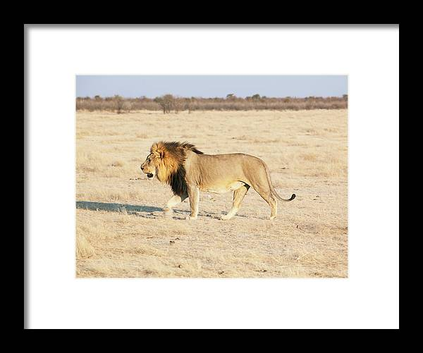 Animal Themes Framed Print featuring the photograph African Lion On Savannah by Bjarte Rettedal
