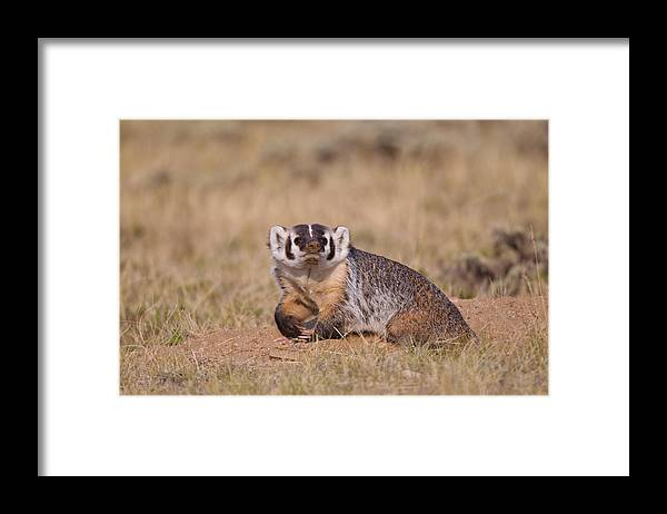 American Badger Framed Print featuring the photograph American Badger by James Zipp