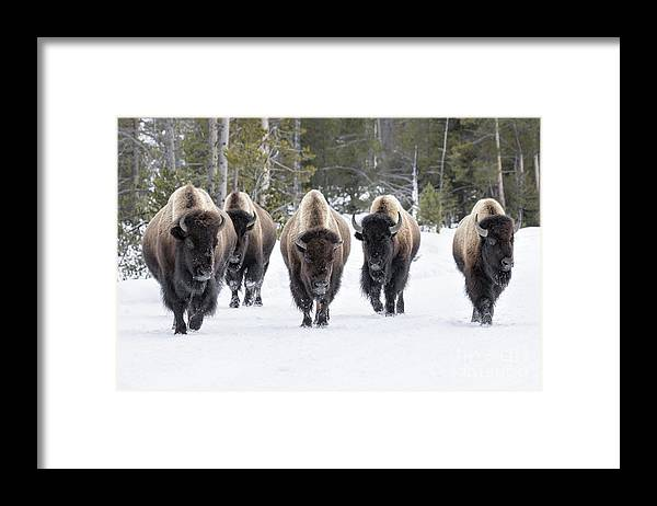 Usa Framed Print featuring the photograph American Bison by David Osborn