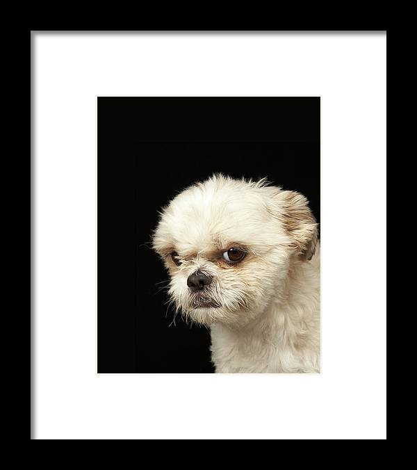 Pets Framed Print featuring the photograph Angry White Shih Tzu With Brown Eyes by M Photo