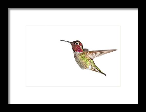 Hanging Framed Print featuring the photograph Annas Hummingbird - Male, White by Birdimages