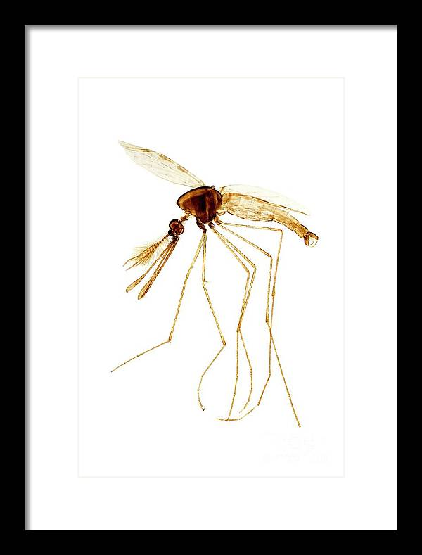 Anopheles Mosquito Male by Dr Keith Wheeler/science Photo Library