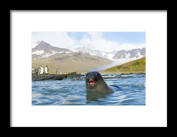 Allardyce Range Framed Print featuring the photograph Antarctic Fur Seal In Sea, King by Eastcott Momatiuk