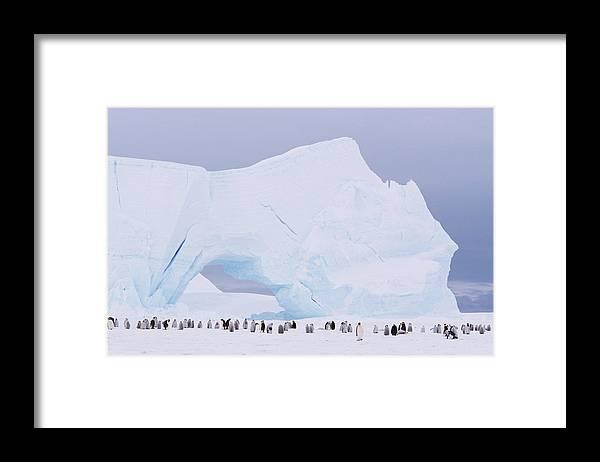 Emperor Penguin Framed Print featuring the photograph Antarctica, Emperor Penguin Aptenodytes by Joseph Van Os