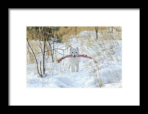 Grass Framed Print featuring the photograph Arctic Fox Alopex Lagopus In White by Mark Newman / Design Pics