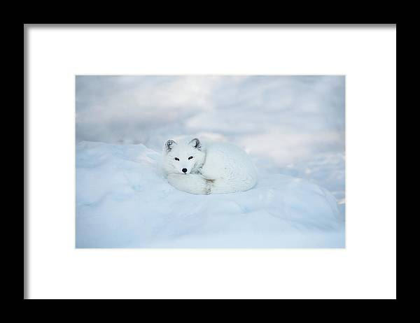 Svalbard Islands Framed Print featuring the photograph Arctic Fox Resting In The Snow by Seppfriedhuber