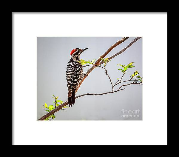 Woodpecker Framed Print featuring the photograph Arizona Ladderback Woodpecker by Janice Pariza