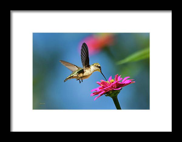 Hummingbird Framed Print featuring the photograph Art Of Hummingbird Flight by Christina Rollo