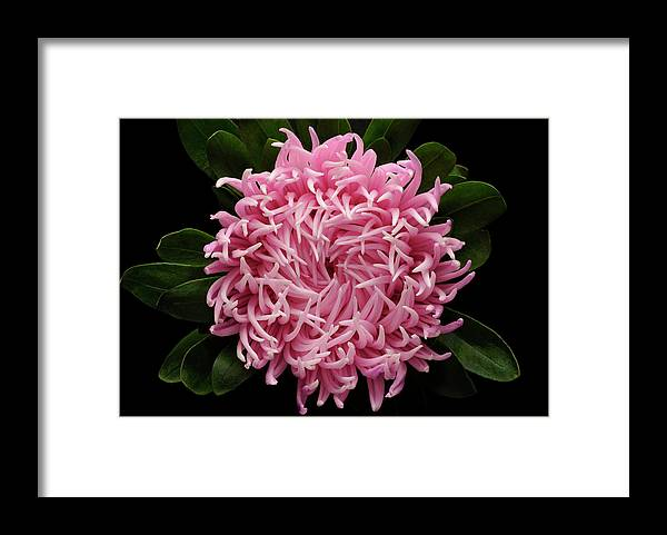 Black Background Framed Print featuring the photograph Aster Flower Close-up On Black by William Turner
