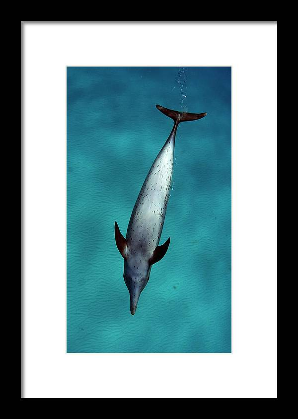 Animal Themes Framed Print featuring the photograph Atlantic Spotted Dolphin by Todd Mintz Www.tmintz.ca