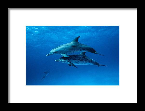 Color Image Framed Print featuring the photograph Atlantic Spotted Dolphins,stenella by Gerard Soury