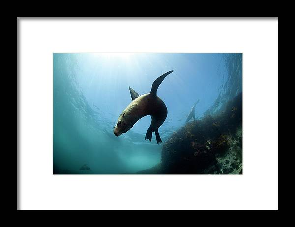 Underwater Framed Print featuring the photograph Australian Fur Seal With Sun Burst by Alastair Pollock Photography