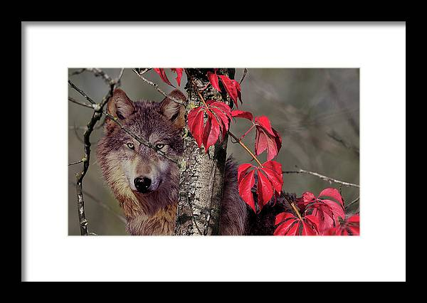 A Wolf Behind A Birch Tree Framed Print featuring the photograph Autumn Wolf by Gordon Semmens