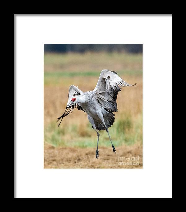 Sandhill Crane Framed Print featuring the photograph Awkward Landing by Mike Dawson