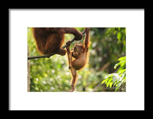 Facial Expression Framed Print featuring the photograph Baby Orangutan Playing by Wayneimage