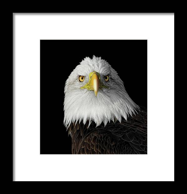 Animal Themes Framed Print featuring the photograph Bald Eagle by Dansphotoart On Flickr