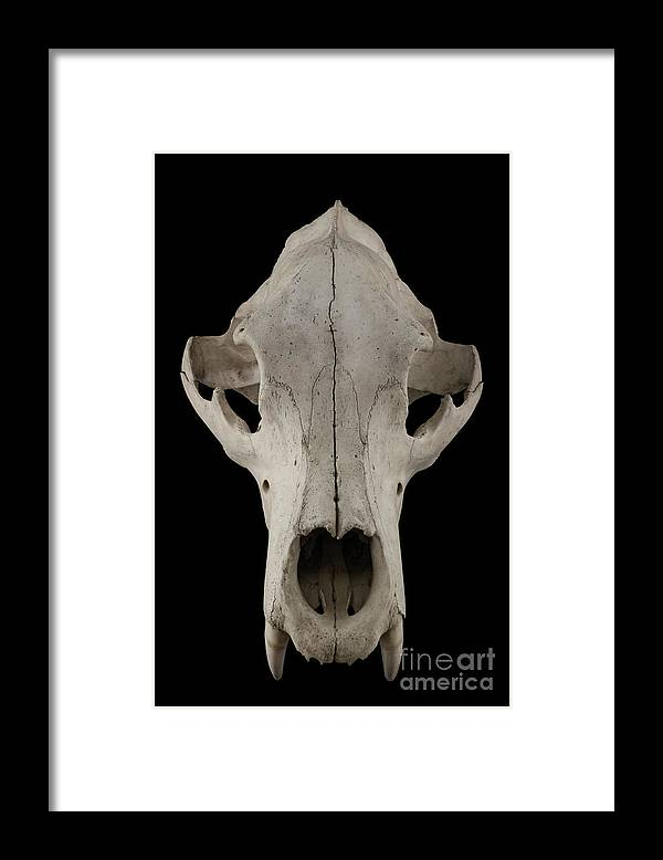 Animal Skull Framed Print featuring the photograph Bear Skull Isolated On A Black by Satirus