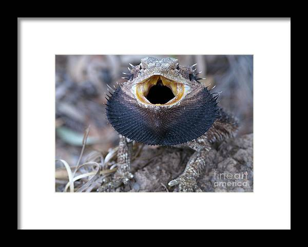 Pets Framed Print featuring the photograph Bearded Dragon by Byronsdad