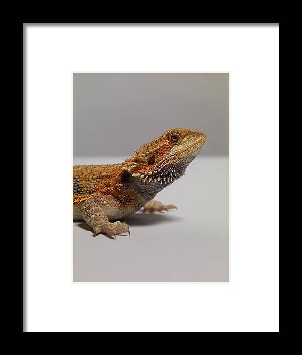 Alertness Framed Print featuring the photograph Bearded Dragon by Dan Burn-forti