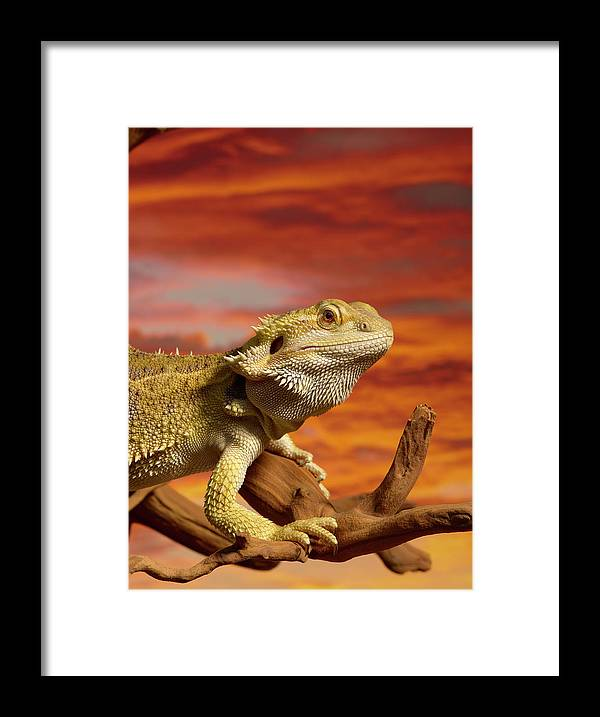 Pets Framed Print featuring the photograph Bearded Dragon Pogona Vitticeps On by Don Farrall