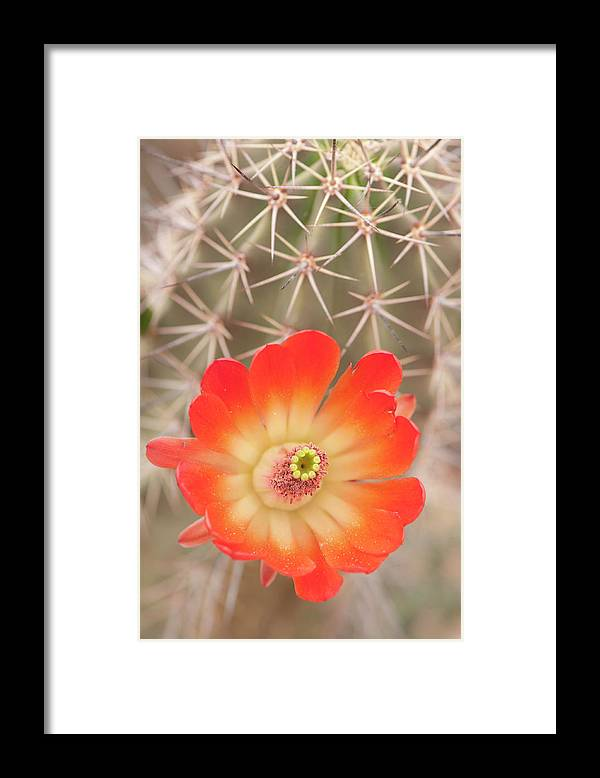 Orange Color Framed Print featuring the photograph Beautiful Claret Cup Hedgehog Blossoms by Lokibaho