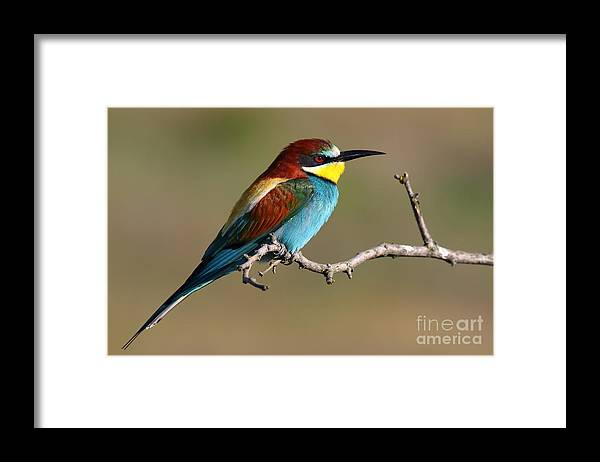 Forest Framed Print featuring the photograph Bee Eater by Peter Gyure