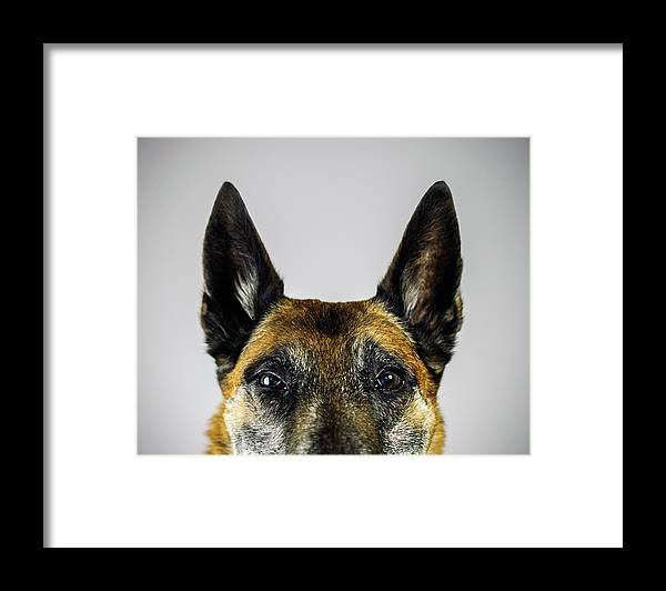 Pets Framed Print featuring the photograph Belgian Sheperd Malinois Dog Looking At by Joan Vicent Cantó Roig