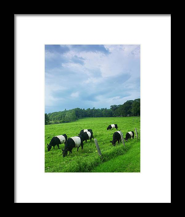 Scenics Framed Print featuring the photograph Belted Galloways by John P Kelly