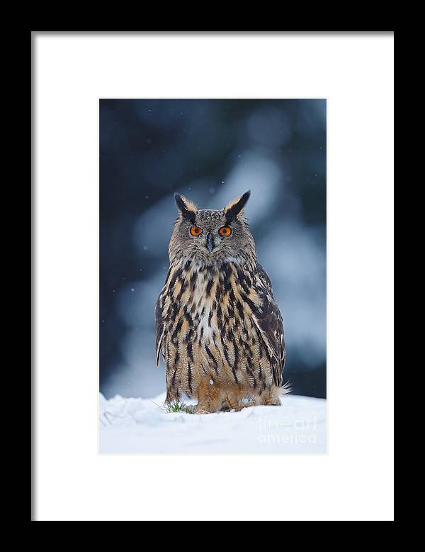 Big Framed Print featuring the photograph Big Eurasian Eagle Owl With Snowflakes by Ondrej Prosicky