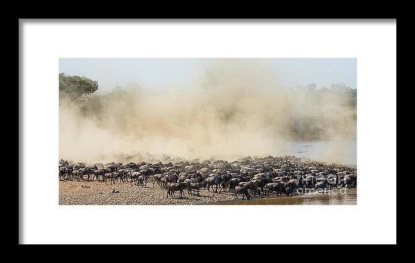 Jumping Framed Print featuring the photograph Big Herd Of Wildebeest Is About Mara by Gudkov Andrey