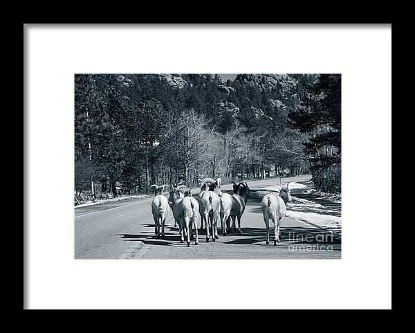 Domestic Animals Framed Print featuring the photograph Bighorn Sheep Ovis Canadensis Walking by Clay Alchemist