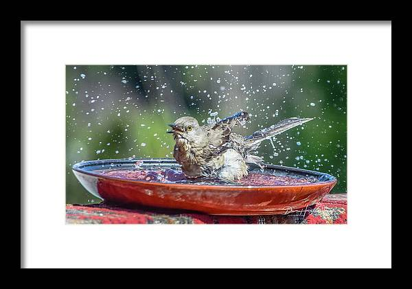 Mockingbird Framed Print featuring the photograph Bird In A Bath by Dawn Hough Sebaugh
