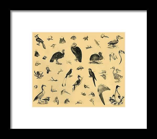 Engraving Framed Print featuring the drawing Birds by Print Collector