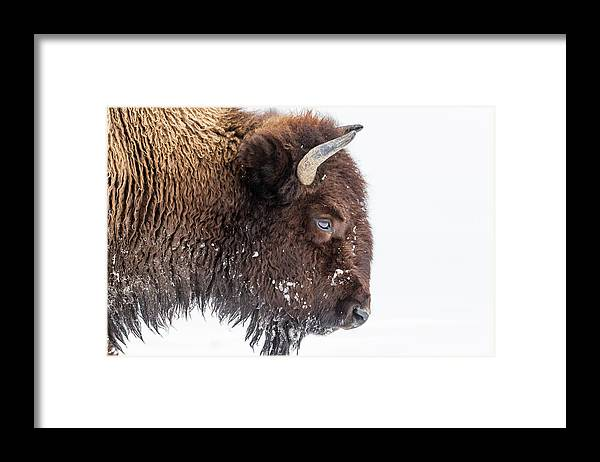 Vertebrate Framed Print featuring the photograph Bison In Winter by Kencanning