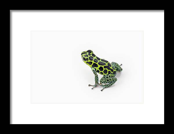 White Background Framed Print featuring the photograph Black Spotted Green Poison Dart Frog by Design Pics / Corey Hochachka