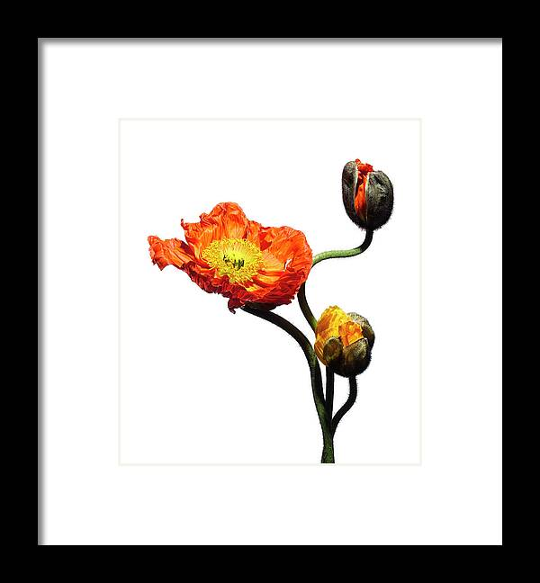 White Background Framed Print featuring the photograph Blossoming Poppy Flowers On White by Chris Stein