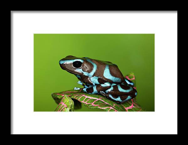 Animal Themes Framed Print featuring the photograph Blue And Black Dart Frog, Dendrobates by Adam Jones