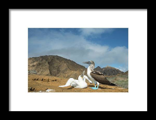 Animal Framed Print featuring the photograph Blue Footed Booby Chick Begging by Tui De Roy