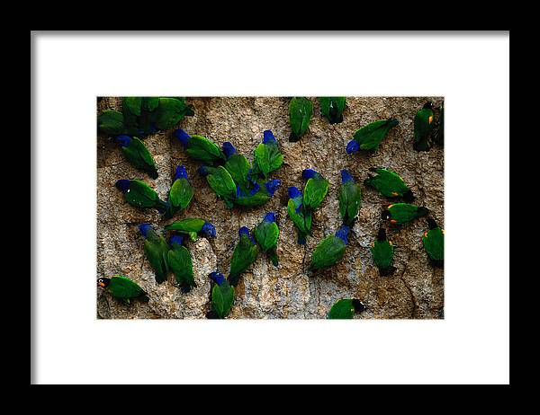 Blue Headed Parrot Framed Print featuring the photograph Blue-headed And Barrabands Parrots by Art Wolfe