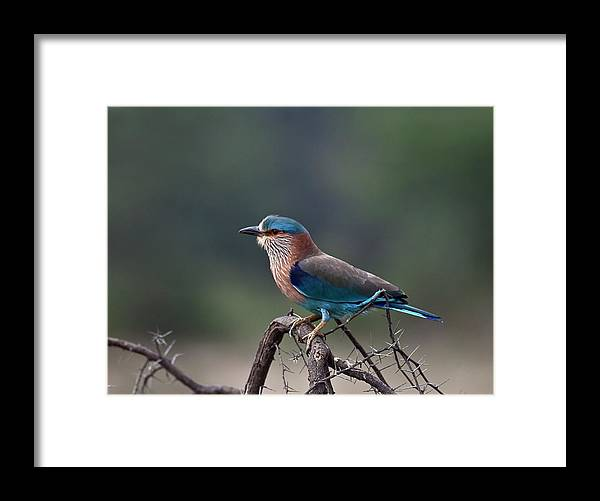 Blue Jay Framed Print featuring the photograph Blue Jay Or Indian Roller by Nature Photography By Jayaprakash