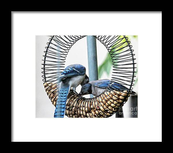 Female Blue Jay Framed Print featuring the photograph Blue Jays Wooing 1 by Patricia Youngquist